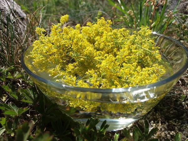 Esencia floral de Galio